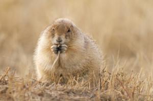 Black-Tailed Prairie Dog Eating Grass I
