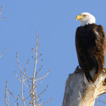 Bald Eagle Perched John Carr USFWS Vol