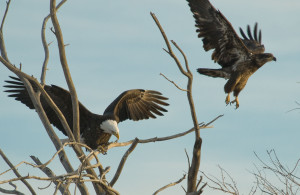 Bald Eagle - Rich Keen DPRA (4)