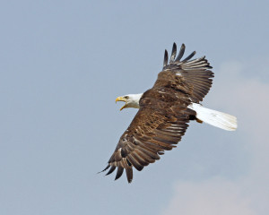 Bald Eagle in flight from side John Carr USFWS Vol