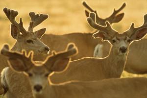 Bucks, herd in velvet