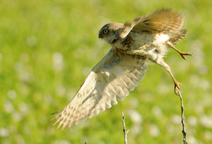 Burowing Owl taking off - Rich Keen DPRA