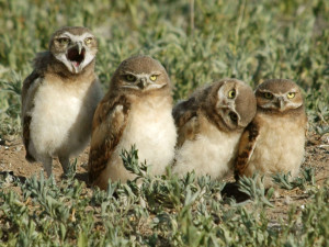 Burrowing Owl -Rich Keen
