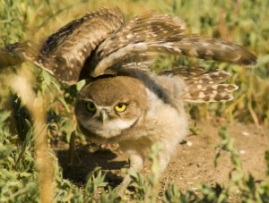 Burrowing Owl - Rich Keen DPRA (4)