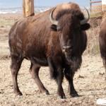 Confluence food damage and bison Nov 2013 034