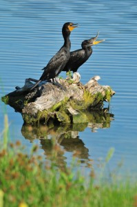 Cormorants-Rich Keen
