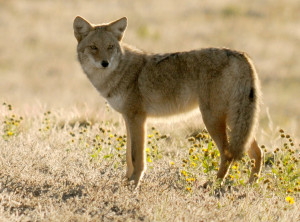Coyote - Rich Keen DPRA (2)