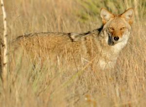 Coyote - Rich Keen DPRA (3)