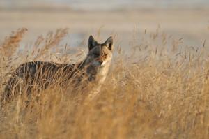 Coyote - Rich Keen DPRA (4)