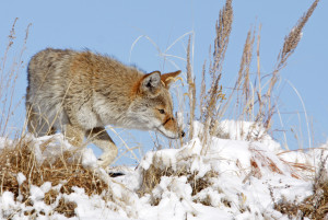 Coyote in Snow Hunting JohnCarrUSFWSVol