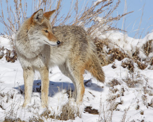 Coyote in Snow from side JohnCarrUSFWSVol - Copy