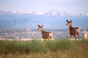 Deer With Rockies