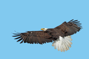 Eagle in Flight from back John Carr USFWS Vol