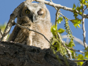 Great Horned Owl - Rich Keen DPRA (1)