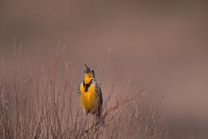 Passerine Meadowlark  Gary Kramer
