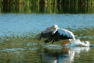 Pelicans - Rich Keen DPRA (1)