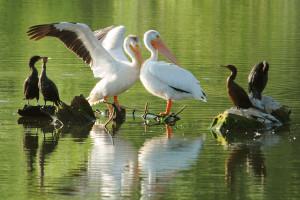 Pelicans - Rich Keen DPRA (2)