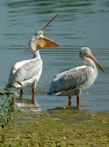 Pelicans - Rich Keen DPRA (5)