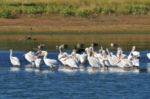 Pelicans at Lower Derby-Rick Keen