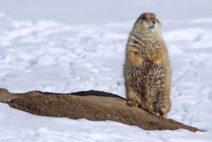 Prairie Dog in Snow facing front JohnCarrUSFWSVol