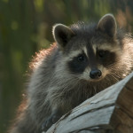 Raccoon with backlighting Vaughn Cottman