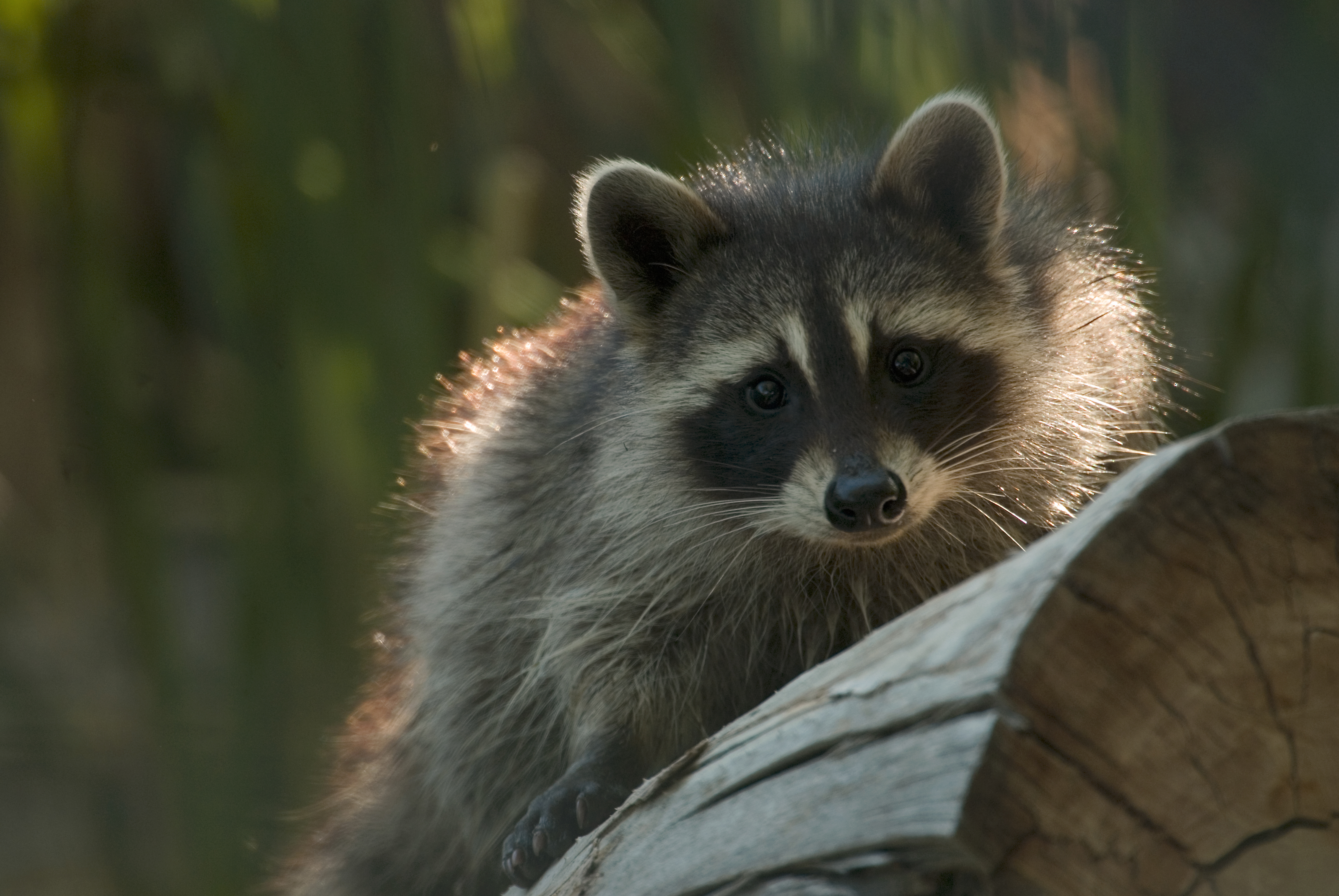 Raccoon with backlighting Vaughn Cottman   Friends of the