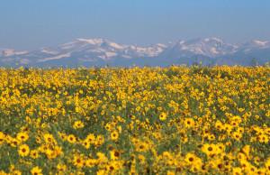 Sun Flowers Barchers