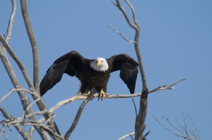 bald eagle taking flight  Rich Keen