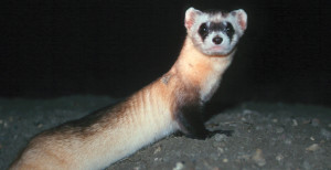 ferret at night