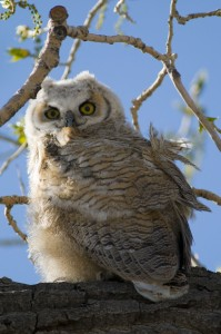 great horned owl chick Rich Keen